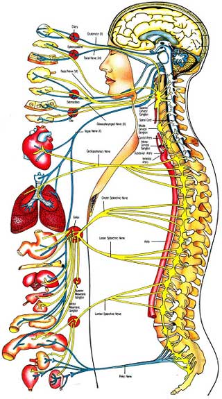 Above: Map of the nervous system (click image for full size diagram).