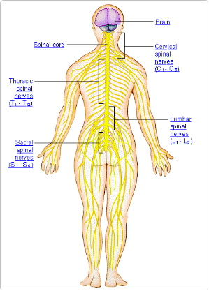 The nervous system yuhas chiropractic health center right the nervous system click image for full size diagram ccuart Choice Image